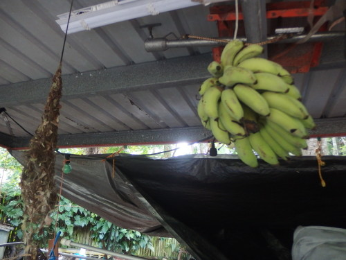 A bunch of bannas picked on Sunday they will take about 2 weeks to ripen, here the fly fruit bats can not get them?