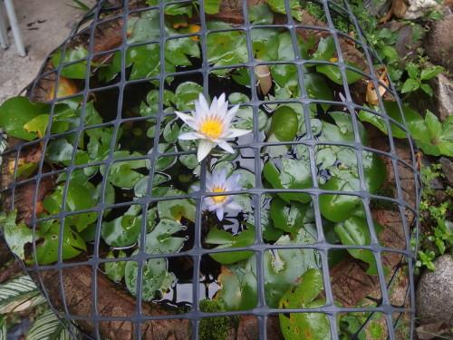 Mini water lillies