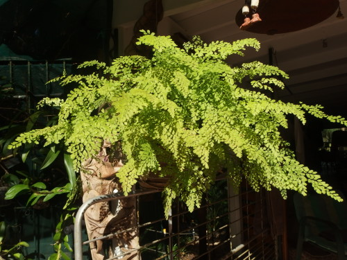 Maiden fern looking lovely in the late after-noon sun yesterday