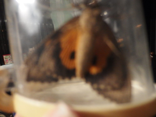 A visitor last night, a very large and beautiful moth. We caught him and released him out side.  Here he is in the jar.