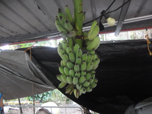 Rod picked this bunch of bananas on the week end and we have it hanging in the carshed so that the fruit bats will not eat them over the next few nights. we have two fingers cut off ripping in the house.  these will ripen over the next week or 10 days.