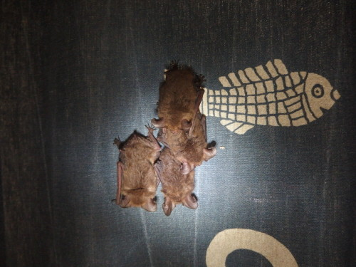 Our 3 baby insect bats are now almost the same size as their parents taken last night on my
