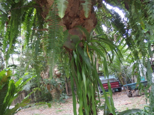 looking up under the fern there is a stag horn tucked up under the birdsnest fern.