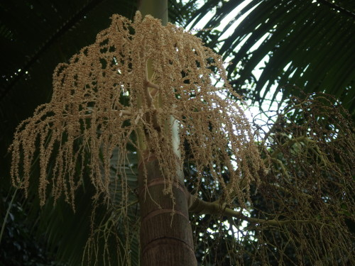 A much smaller palm just flowering and covered in bees.  These berries will be bright red when they finally grow.