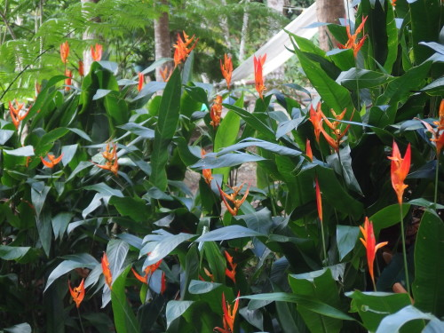 Self grown bunch of heliconias.