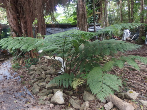 3 young tree ferns they will reach up to 8 metres high or higher over 15 years.
