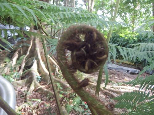 New fern uncurling of the tree fern.