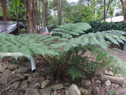 A bunch of self sewn tree ferns How I love these ferns they can grow up to