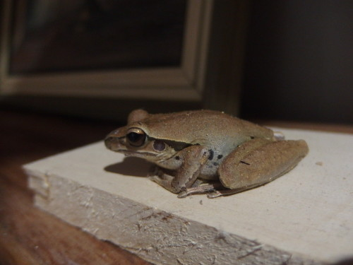 This little fellow is a local frog and thinks if he does not move we can not see him LOL Even if I pick him up and put him down he just sits there again!!!! Hubby has a big one in his work shop and he has to be careful were he puts things down first incase he is on his work bench.