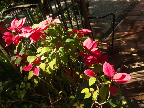 Early morning sun turning the red petals to a stunning display.