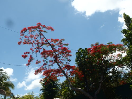 Flame tree flowers.