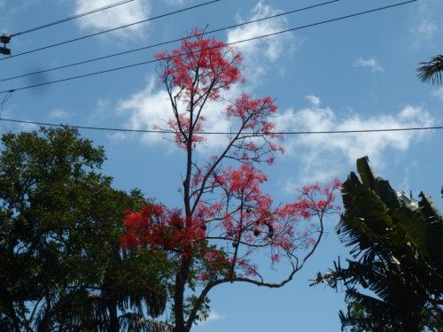 Carol tree