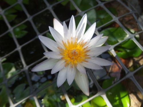 We have had this tiny waterlilly for around 5 years now and it throws me a new flower every day it is a wee blessing in the garden.