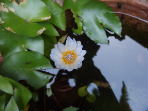 A new little water lilly opens each morning such a wee treasure.
